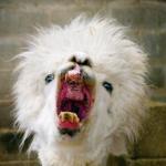 llama screetching