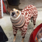 grey hound with sweater
