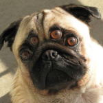 pug with four eyes