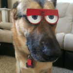 German shepard with crazy eye mask