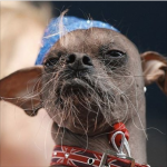 ugly dog contest winner